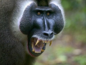 Enorme primate enojado