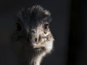 Mirada de una avestruz