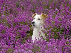 Postal: Perro mirando atentamente, entre flores color púrpura