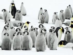 Postal: La danza de los pingüinos