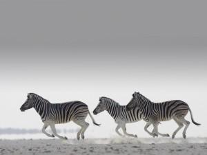 Postal: La carrera de las cebras