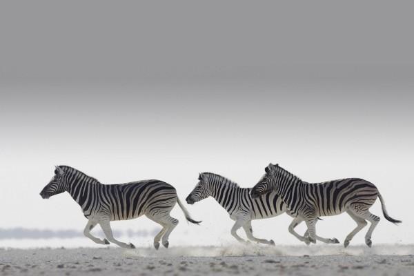La carrera de las cebras