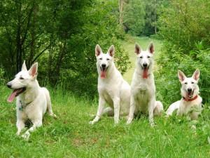 Perros de Suiza color blanco
