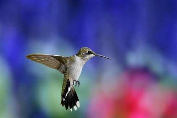 Un colibrí