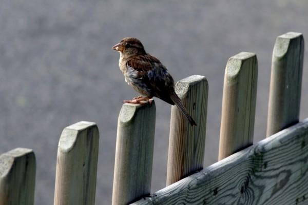 Pajarillo sobre la valla de madera