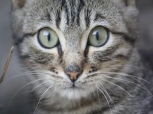 La mirada de un bonito gato