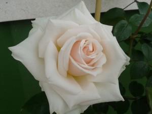 Preciosa flor blanca