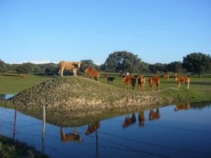 Postal: Vacas en el prado