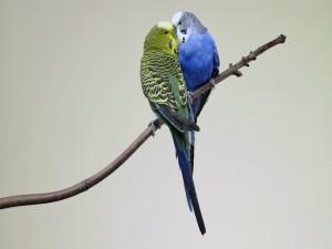 Periquitos amorosos en la rama