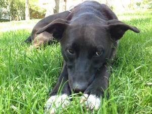 Postal: Perro negro tumbado en la hierba
