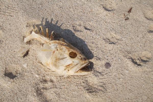 El esqueleto de un pez, en la arena de la playa
