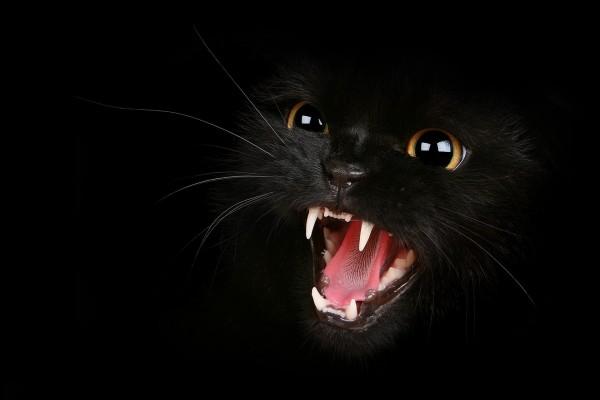 Gato negro bastante enfadado