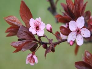 Postal: Rama y flores de un cerezo
