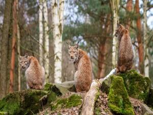Postal: Tres linces sobre las piedras en el bosque
