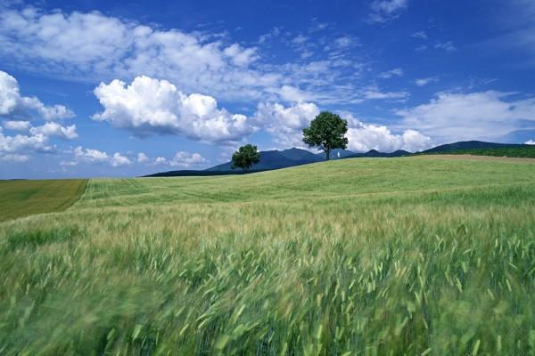 Trigo verde meciéndose con el viento