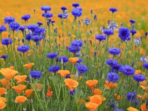 Postal: Flores silvestres naranjas y azules
