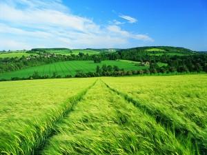 Postal: El trigo verde en el campo