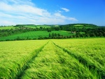 El trigo verde en el campo