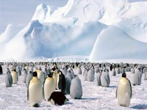 Colonia de pingüinos en el hielo