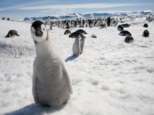 Pequeño pingüino mirando a cámara