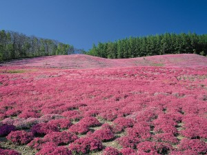 Postal: Campo sembrado con flores