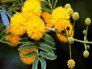 Postal: Rama de mimosa en primavera