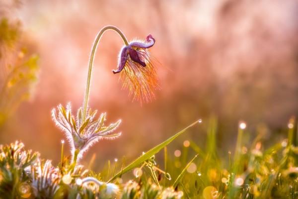 Extraña flor y gotas de rocío sobre la hierba