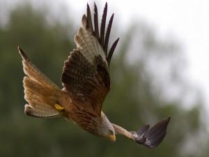 El vuelo de un gran halcón