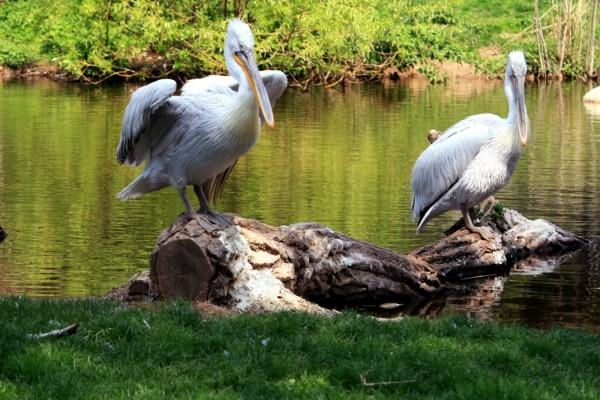 Pelícanos a orillas de un estanque