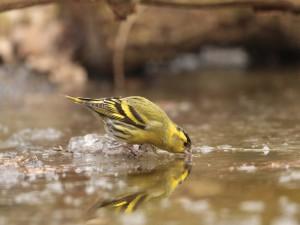 Un jilguero tomando agua
