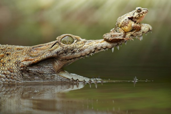 Una rana sobre la boca de un cocodrilo