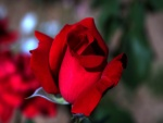 Una rosa de color rojo