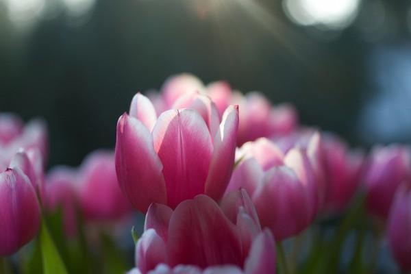 Tulipanes rosas al amanecer