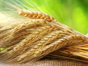 Espigas de trigo sobre el saco