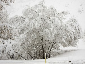 Postal: Árbol repleto de nieve