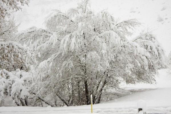 Árbol repleto de nieve