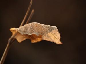 Hoja seca en la rama