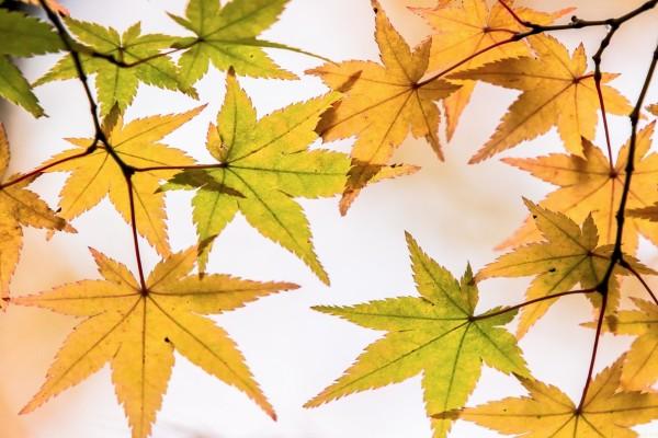 Hojas amarillas y verdes en sus ramas