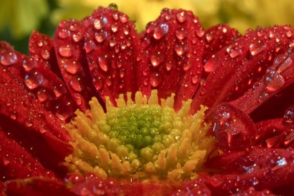 Flor roja repleta de gotas de agua