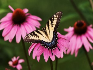 Postal: La mariposa posada en la flor