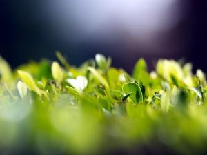 Planta con pequeñas hojas verdes