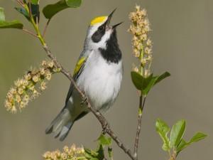 Postal: Pajarillo cantando sobre la rama