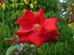 Una rosa con grandes pétalos