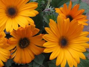 Grandes flores anaranjadas