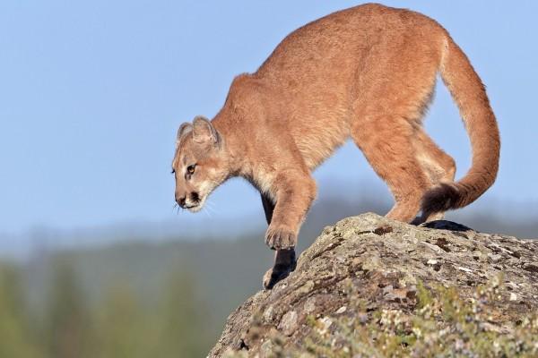 Puma sobre una roca