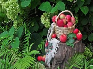 Postal: Recolectando manzanas
