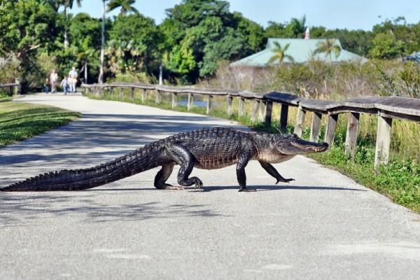 Un cocodrilo en la carretera
