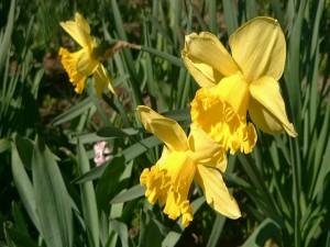 Postal: Narcisos amarillos
