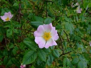 Bonitas flores rosas en su planta