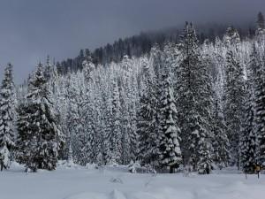 Postal: Nieve y pinos